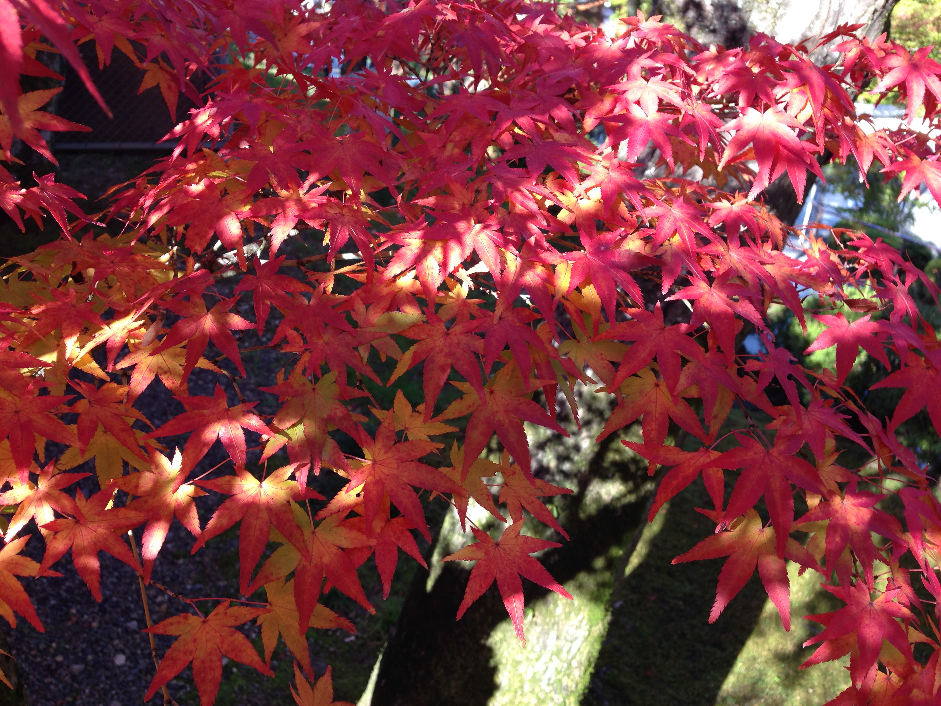 red-leaves-in-kyoto