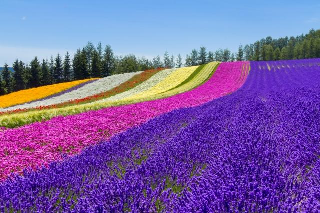 Flower fields in Furano, Hokkaido